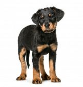 Mixed-breed dog , 2 months old, standing against white background poster