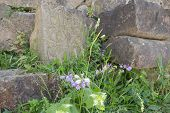 Photo Of Ancient Ruins. Violet Flower In Ruins. Old Ruined Walls poster