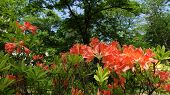 Flowering Red Shrub Rhododendron Mollis In The Park In The Spring Under The Trees. Mollis Azalea, Rh poster