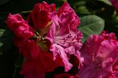 Rhododendrons  The Rhododendrons Are A Genus Of The Family Ericaceae poster