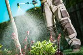 Gardener Fighting Insects In The Garden By Insecticide Whole Backyard Garden. poster