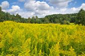 stock photo of goldenrod  - Blooming goldenrod at the foot of the forest - JPG