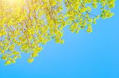 Spring Background - Green Branches Of Spring Forest Trees Extend To The Blue Sky In Sunny Spring Day poster