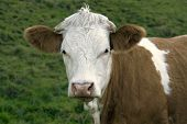 stock photo of feedlot  - portrait of a brown and white pied cow in green grassy back - JPG