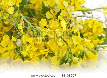 Flower of a mustard, Rape blossoms , Brassica napus, close up on white