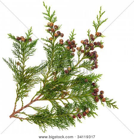 Cedar cypress leyland leaf branch with pine cones over white background.
