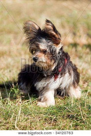 yorkshire terrier fine dog