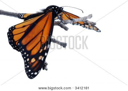 Monarch Butterfly With Wings Down