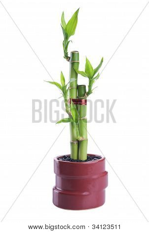 Chinese Lucky Bamboo
