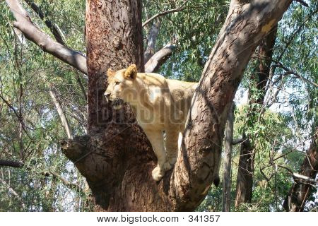 Young Lion In Tree