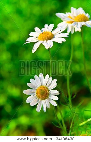 Chamomile On Green Abstract Background