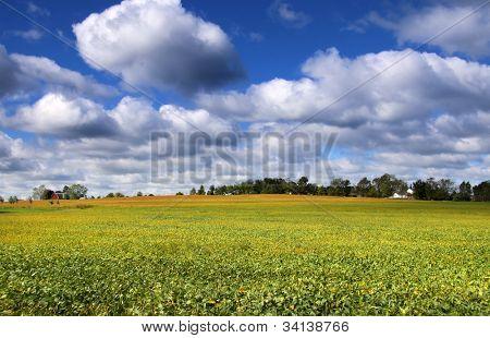 Scenic landscape of Soy bean fields