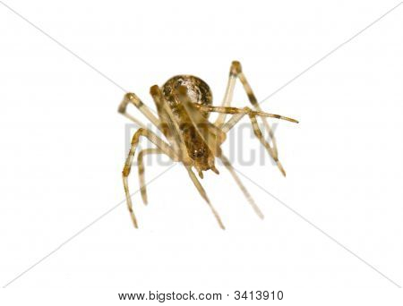 Isolated Small Spider