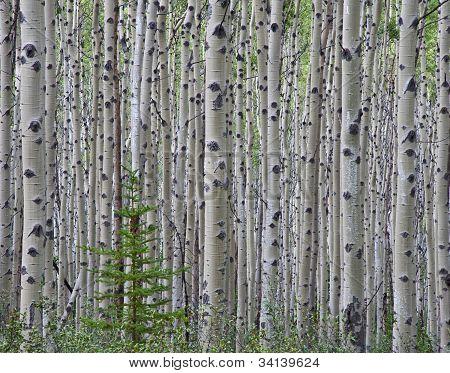 Aspen Wald