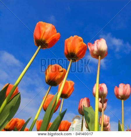 blossoming tulips from low angle with blue sky as background