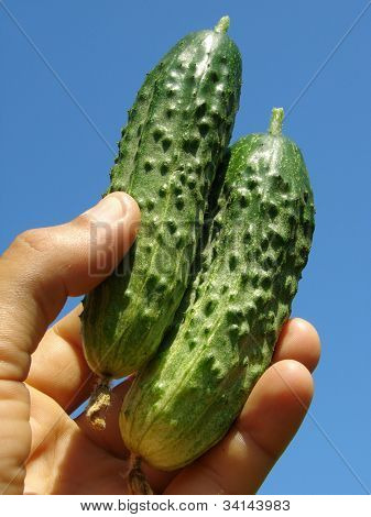 hand with pair of freshly picked home grown cucumbers