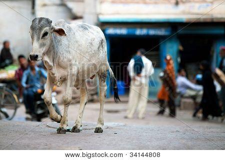 Vacas na rua na Índia, Ásia