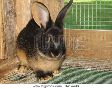 Two Toned Bunny