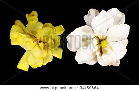 Gardenia Augusta (l.) Merr. Wither And Fresh