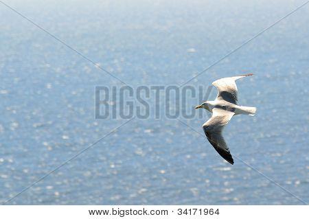 Herring gull flying