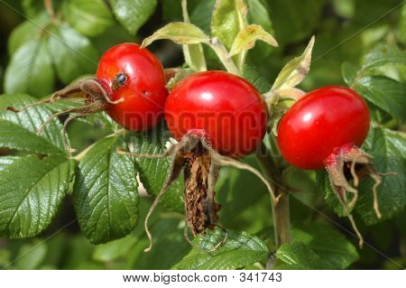 Rosehips With Cockroach