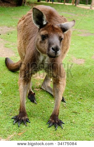 Image Of An Australian Kangaroo