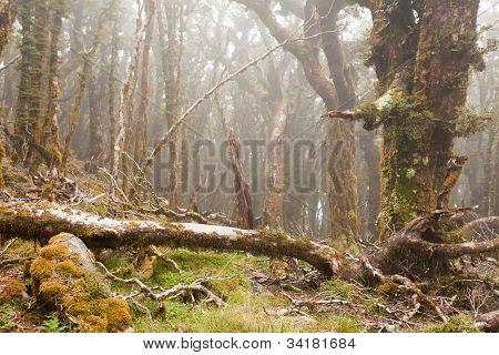 Virgin mountain rainforest of Marlborough, NZ