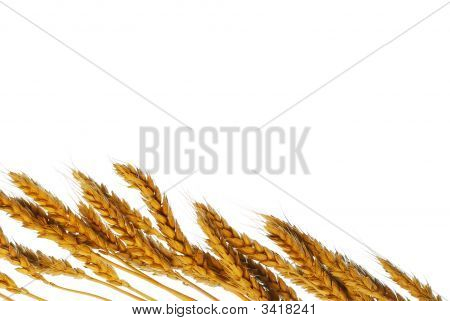 Wheat With Copy Space