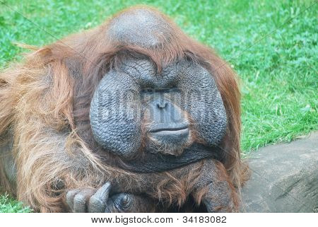 Close-up Of A Huge Male Orangutan