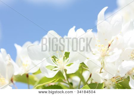 Bright Apple Blossoms