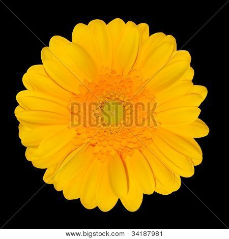 Yellow Gerbera Daisy Flower Head Isolated On Black
