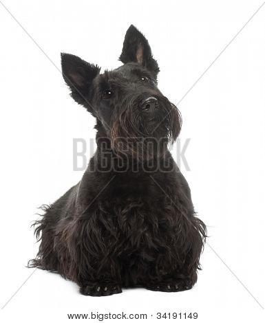 Scottish Terrier, 20 months old, standing against white background