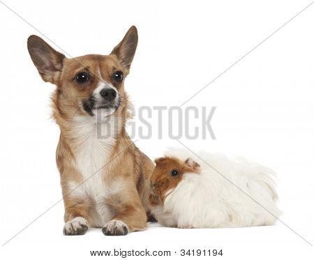 Bastard dog and guinea pig against white background