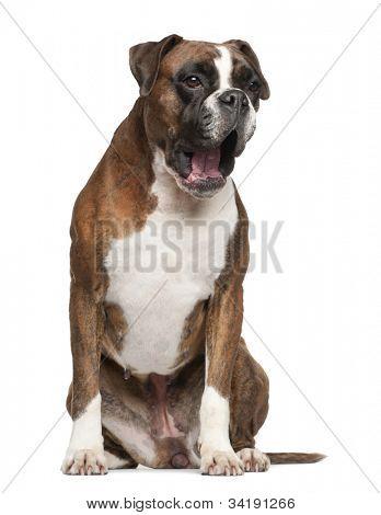 Boxer, 3 years old, yawning sitting against white background