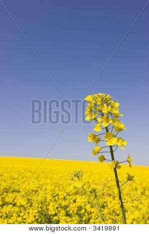 Yellow Canola Against Blue Sky