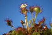 image of carnivorous plants  - Common sundew  - JPG