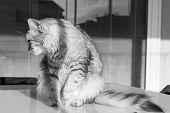 Lovely Cat Of Siberian Breed In A Garden, Purebred Feline Of Livestock poster
