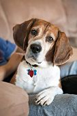 stock photo of droopy  - Cute beagle dog looking at the viewer - JPG