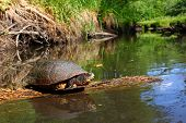 foto of winnebago  - Blandings Turtle basking on a log in a pristine stream of northern Illinois - JPG
