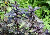 Purple Basil: Planting, Growing, And Harvesting. Purple Basilic Plantation. Close Up On Organic Fres poster