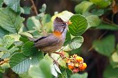 Whiskered Yuhina Yuhina Flavicollis Beautiful Birds Of Thailand Eating Fruit poster