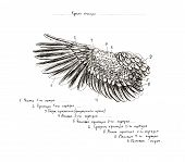 Graphite Naturalistic Biology Bird Pigeon Illustration. Animal Bones Drawn With Pencil. Scince, Zool poster