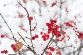 Christmas Rowan Berry Branch. Hawthorn Berries Bunch. Rowanberry Twig In Snow. Winter Berry. Berries poster