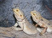 A Pogona Pair, Commonly Known As Bearded Dragons poster