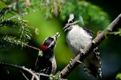 stock photo of woodpecker  - Young Downy Woodpecker Being Fed By Its Father - JPG