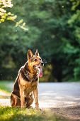 pic of alsatian  - Beautiful German Shepherd Dog  - JPG