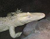 foto of crocodilian  - A Rare Albino American Alligator Lurks in a Dark Pool at Night - JPG