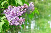 Lilac Flowers With Green Blurred Background. Branches Of Blossoming Purple Lilac, Can Be Used For A  poster