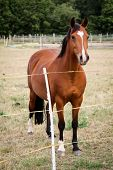 Horse, Horses, Stallion In A Pasture, Paddock While Grazing poster