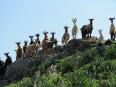 picture of hilltop  - Goat herd on hilltop near Bastia - JPG